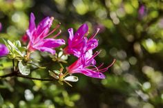 You can grow azaleas from seeds, but that's not your best bet if you want your new plants to resemble the parent. The only way to be certain you'll get clones of a favorite azalea is to propagate them from azalea stem cuttings. This article will help with that.