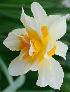 Daffodil double