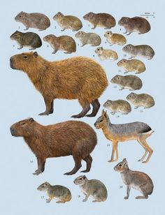 Family Caviidae (Cavies, Capybaras and Maras)