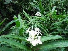 planta invasora na cidade de São Paulo - lírio do brejo ( hedychium coronarium)