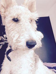 Figo. Wire fox terrier