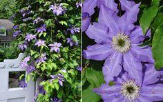 Clematis...Three Dogs in a Garden: A Natural Shade Garden in Summer