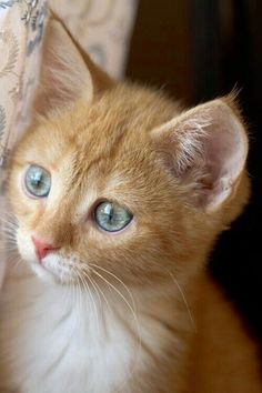 Cute Cats And Kittens, I Love Cats, Crazy Cats, Cool Cats, Kittens Cutest, Orange Cats, White Cats, Baby Animals, Cute Animals