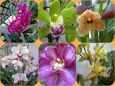 Batata doce: Orquídeas saudáveis