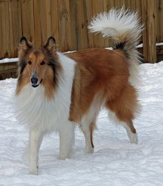 The dog i played with growing up, since my dog didn't play, was my neighbors beautiful collie, Tessa.. she looked very much like this.
