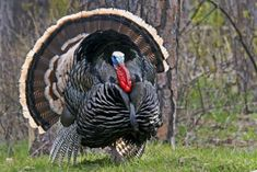 Turkey Hunting Tip: Stop Calling to Stubborn Two-Year-Old Gobblers, Take a Nap Whitetail Deer Hunting, Quail Hunting, Turkey Hunting, Best Turkey, Wild Turkey, Hunting Tips, Bow Hunting, Archery Hunting, Rio Grande