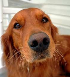 Irish Setter..I love when dogs stick their nose in the camera! Cute!
