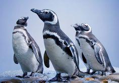 The Aquarium of the Pacific Celebrates Penguins This Summer