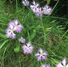 Lilien - Cathars Flowers