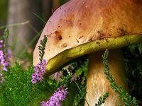 Houbová zahrada: pěstování lesních hub, hříbků, lišek, kozáků…