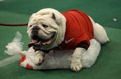 University of Georgia Bulldogs football - UGA on ice - just chilling