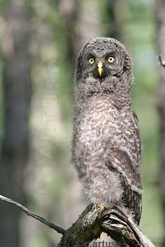 Juvenile Great grey owl by Christian Artuso
