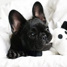 Black French Bulldog Puppy❤️.