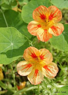 Nasturtium Blooms. Nasturtiums have showy, often intensely bright flowers, and rounded, peltate (shield-shaped) leaves with the petiole in the centre. The flower is edible and makes for an especially ornamental salad ingredient; it has a slightly peppery taste reminiscent of watercress,