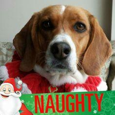 Not so naught Christmas beagle.
