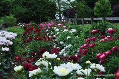 Eleanor Tickner's Peony Garden