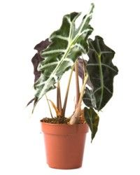The Alocasia 'Polly' (Araceae), commonly known as the African mask, is a tropical plant, even though it is ideally grown indoors. These plants have heart-shaped, dark, glossy green leaves with silver veins. They can grow to a height of about 2 feet. What makes this ornamental plant distinctive, is the deep burgundy backs and pretty scalloped edges of the leaves.