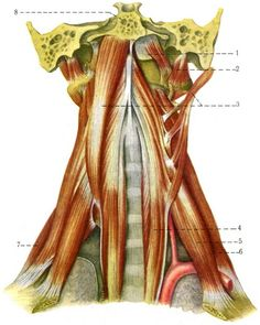 In my previous post 5 nutrients youre deficient in if you eat deep and lateral muscles of the neck fandeluxe Images