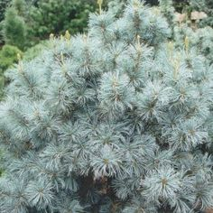 Blue Angel White Pine:   A slower growing selection that will maintain a uniform and densely-branched upright form. Its silvery blue-green needles are brighter, creating a handsome specimen. Evergreen.