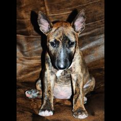 Olive Mini Bull Terriers, English Bull Terriers, Pit Bulls, Bullies, Best Dogs, Animals, Animales, Animaux, Pit Bull