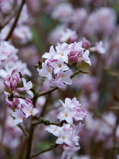 WINTER FLOWERING SHRUBS - The ultra-fragrant flowers of many daphnes, including Daphne bholua 'Jacqueline Postill', appear in midwinter. 'Jacqueline Postill' is evergreen. USDA Zones 7 to 9 Winter Plants, Winter Flowers, Winter Garden, Gardening Zones, Container Gardening, Garden Shrubs, Patio Plants, Garden Plants, Outdoor Life