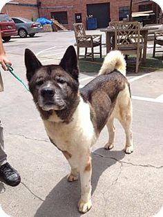 Santa Clarita, CA - Akita. Meet Fluffy a Dog for Adoption.