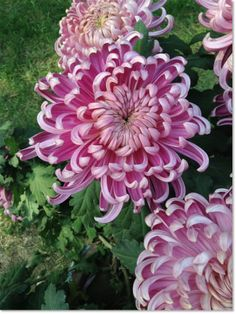 #Chrysanthemum #flowers #coupon code nicesup123 gets 25% off at  leadingedgehealth.com