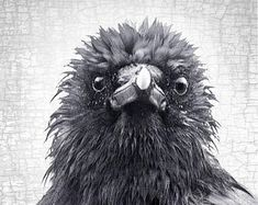 Frazzled Crow, Mabel - Patron Saint of Monday Mornings - Signed Fine Art Photograph by June Hunter, Black and White, Square, Crow Lover Gift