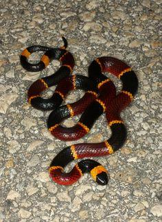 Coral snake, Micrurus fulvius   Flickr - Photo Sharing!