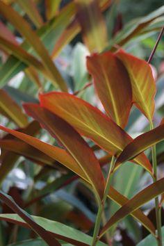 Redback Ginger (Alpinia caerulea)