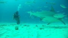 I will add more to description later but was shot with GoPro hero 2 , GoPro Hero 3 Black and GoPro Black. Gopro Hero 3, Sharks, Pets, Animals, Black, Playa Del Carmen, Animales, Shark, Animaux