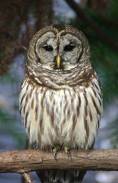 Eastern Barred Owl - Hurricane Creek. Jeff Davis County.