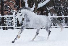 Arkus, latvian horse