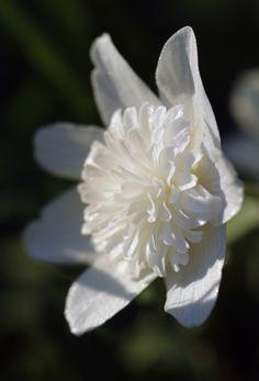 European wood anemone 'Vestal' (Anemone nemorosa 'Vestal') /Dubbelblommande vitsippa.