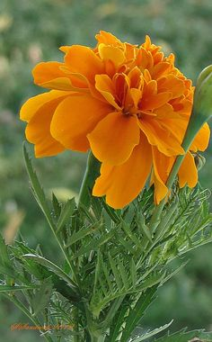 Marigold companion planting enhances the growth of basil cucumbers eggplant gourds kale potatoes squash and tomatoes Marigold also makes a good companion plant to melons. My Flower, Colorful Flowers, Flower Power, Beautiful Flowers, Marigold Flower, Birth Flower, Orange Flowers, Dame Nature, Calendula