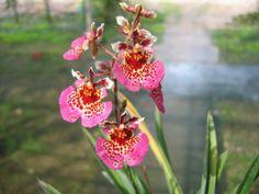 Equitant Oncidium Tolumnia Jairak Rainbow 'Charming'
