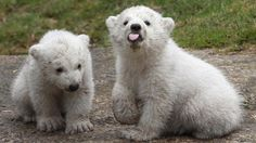 A mate has been sought for one of two male polar bears kept in Scotland but what does it take to find the perfect mate for a polar bear?