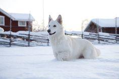 White German Shephard #Germanshepherds #workingdog