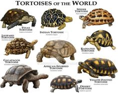I have seen numerous suggestions for Russian tortoise diet Some great Some awful. Russian Tortoises are nibblers and appreciate broad leaf plants. Tortoise Habitat, Tortoise Care, Giant Tortoise, Tortoise Turtle, Pet Turtle, Turtle Love, Freshwater Turtles, Sulcata Tortoise, Russian Tortoise