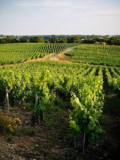 Vignobles. La Haie-Fouassière, Loire-Atlantique. Brittany