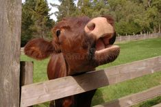 Photo about Brown cow behind fence, saying moo. Image of lips, livestock, brown - 15104405 Cows Mooing, Livestock, Vector Design, Fence, Elephant, Royalty Free Stock Photos, Brown, Vectors, Animals