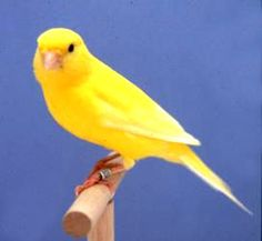 Top 10 Tips for Pet Canaries | Buiv.