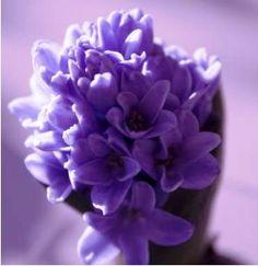 Jacinto Púrpura