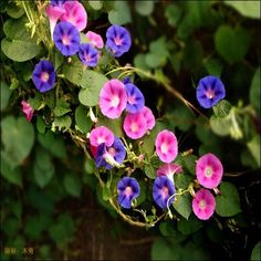 Dwarf Morning Glory Ensign Mix (Convolvulus Tricolor Minor Ensign Mix) - Grow this mounding variety from Dwarf Morning Glory seeds for colorful, hardy, compact bedding plan... #underthesunseeds Morning Glory Plant, Morning Glory Flowers, Morning Glories, Bonsai Plants, Ornamental Plants, Beautiful Morning, Medicinal Herbs, Flower Seeds, Garden Supplies
