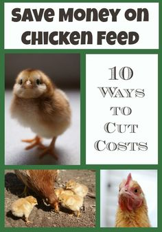 10 Ways to Save Money on Chicken Feed