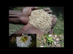Medicinal Rice B4 Formulations for Fever Blisters: Pankaj Oudhia's Medic...