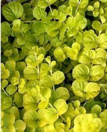Herbe aux écus doré Lysimachia nummularia 'Aurea'