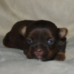 Meet Benny, visit www.shorkieworld.com to see more photos of him :0)