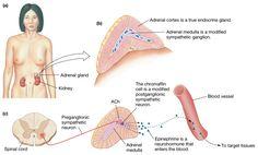 Endocrine+Organ   Adrenal Medulla: A Modified Sympathetic Ganglion & endocrine organ