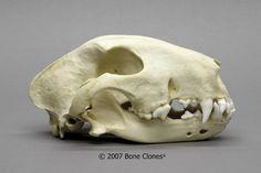 White Bull Terrier Skull - Bone Clones, Inc. - Osteological Reproductions